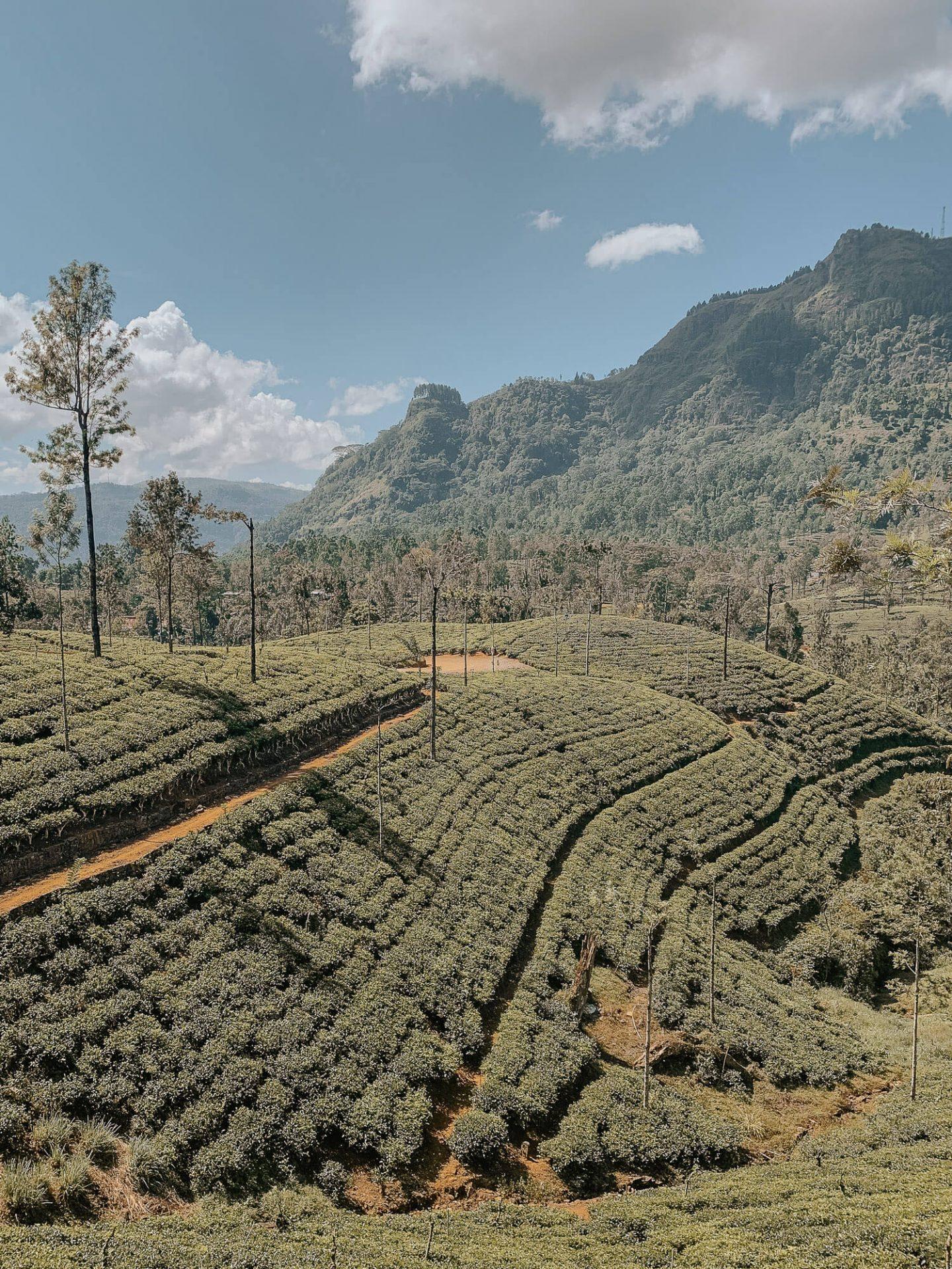 Sri Lanka Bucket List tea plantation