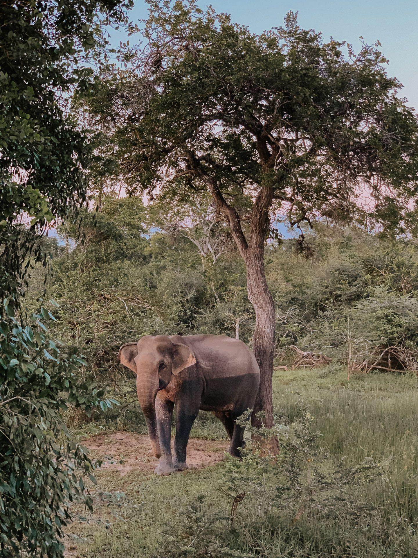 Elephant in Yala National Park Sri Lanka