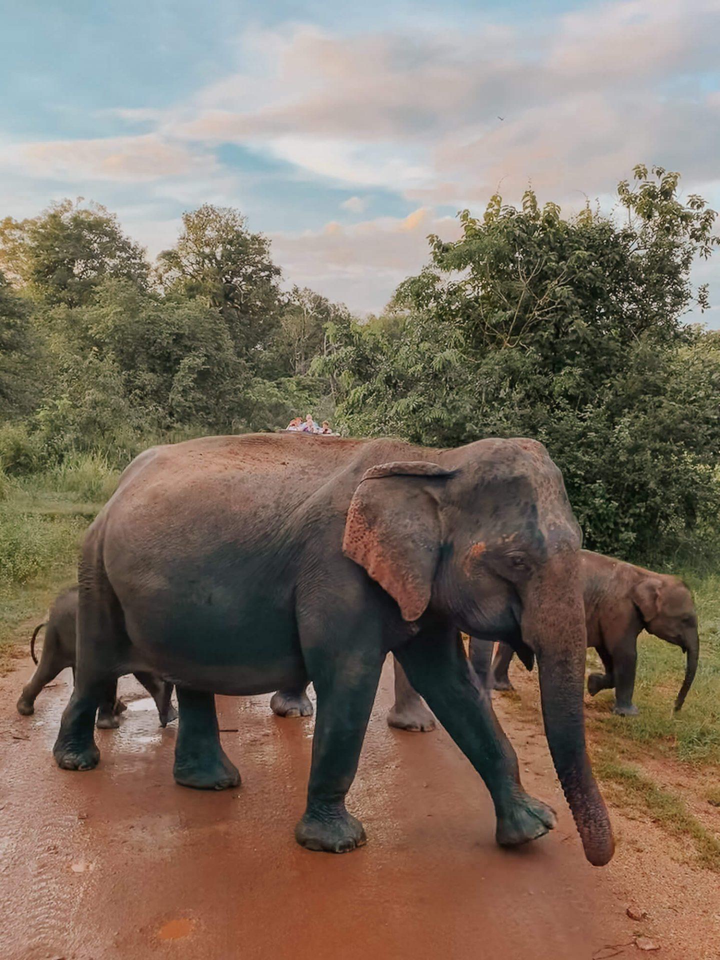 Elephants Sigiriya Sri Lanka