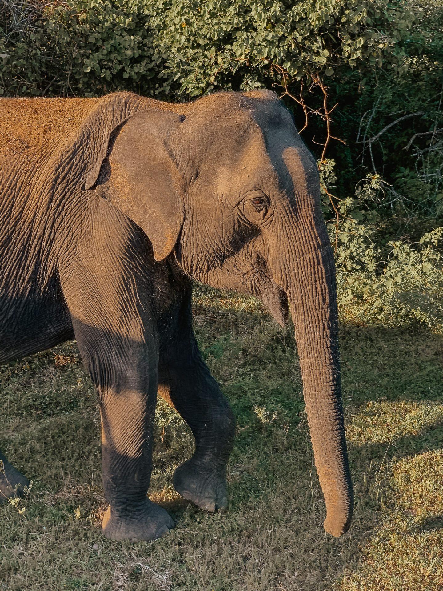 Elephant in Yala National Park Sri Lanka Itinerary